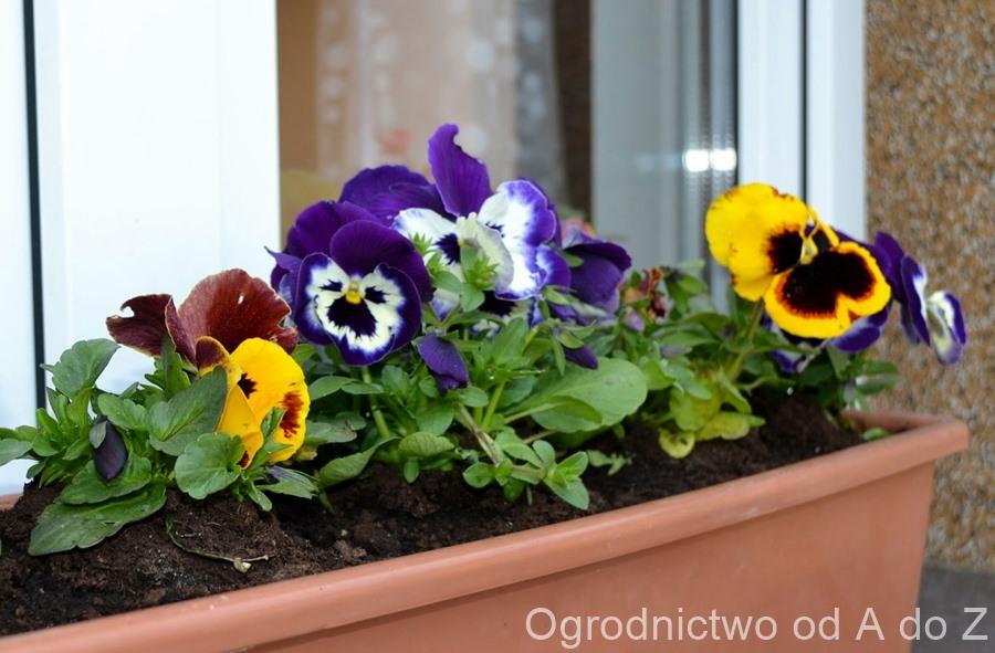Viola ×wittrockiana