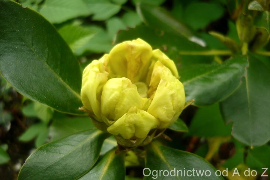 Rhododendron 'Goldbukett'