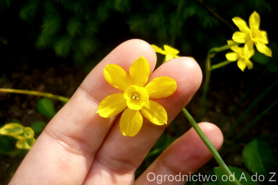 Narcissus 'Baby Moon'