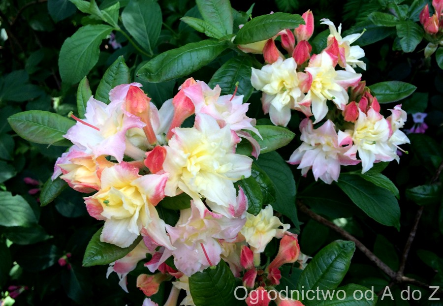 Rhododendron 'Cannon`s Double'