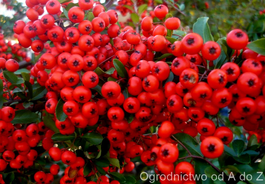 Pyracantha- fruits