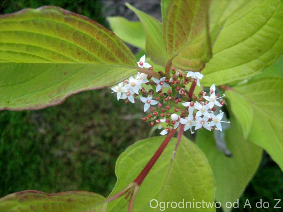 Cornus  alba 'Aurea'- flowers