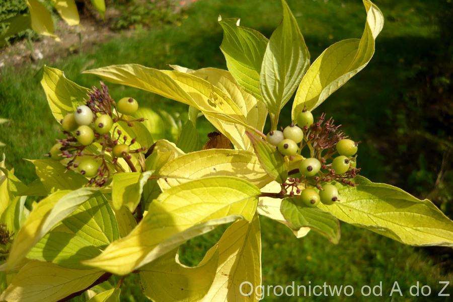Cornus  alba 'Aurea'- fruits