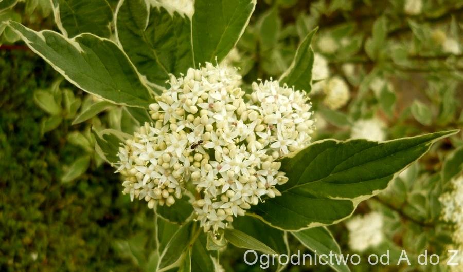 Cornus alba 'Sibirica Variegata'