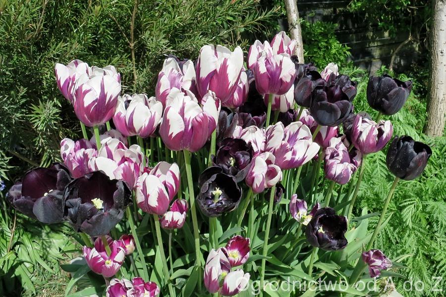 Tulipa 'Rem's Favourite' i 'Paul Scherer'