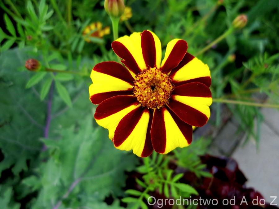 Tagetes patula 'Striped Marvel'
