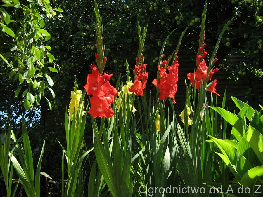 Gladiolus x hybridus