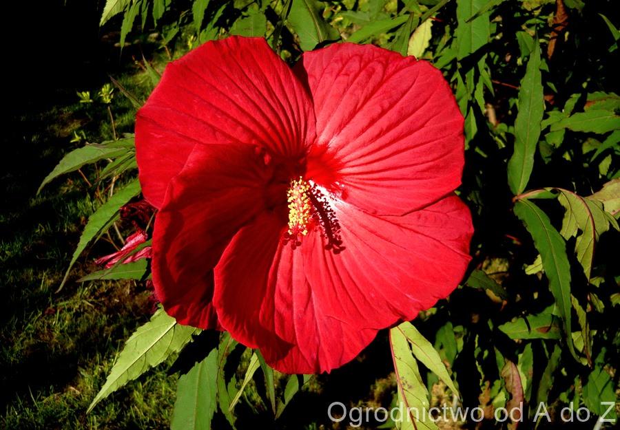 Hibiscus moscheutos 'Fireball'