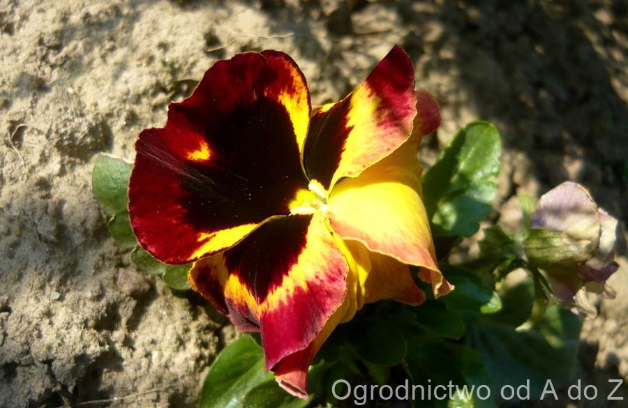 Viola x wittrockiana