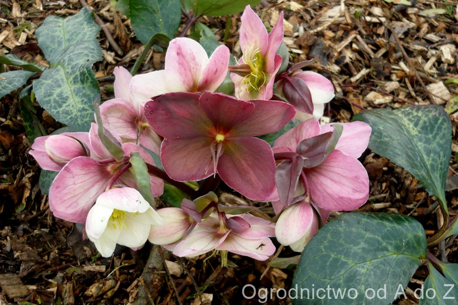 Helleborus × ericsmithii 'Winter Moonbeam'