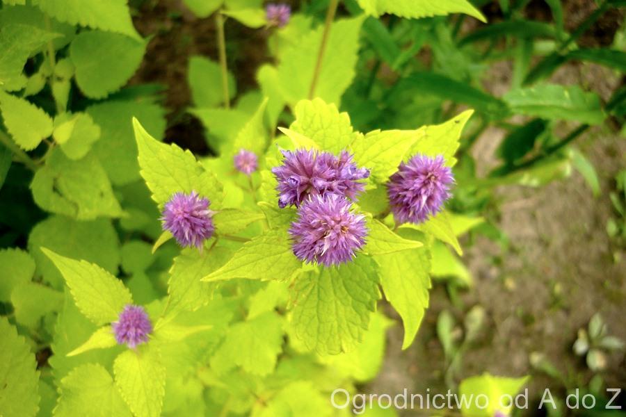 Agastache foeniculum 'Golden Jubilee'