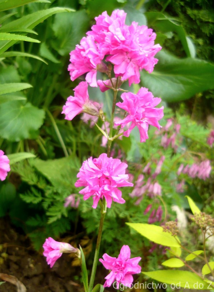Lychnis viscaria