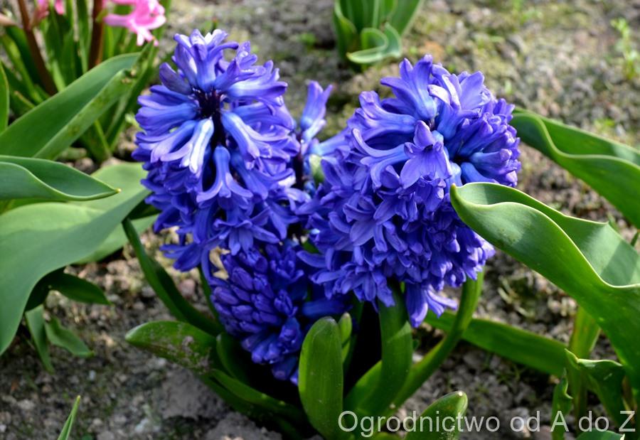 Hyacinthus orientalis 'Delft Blue'