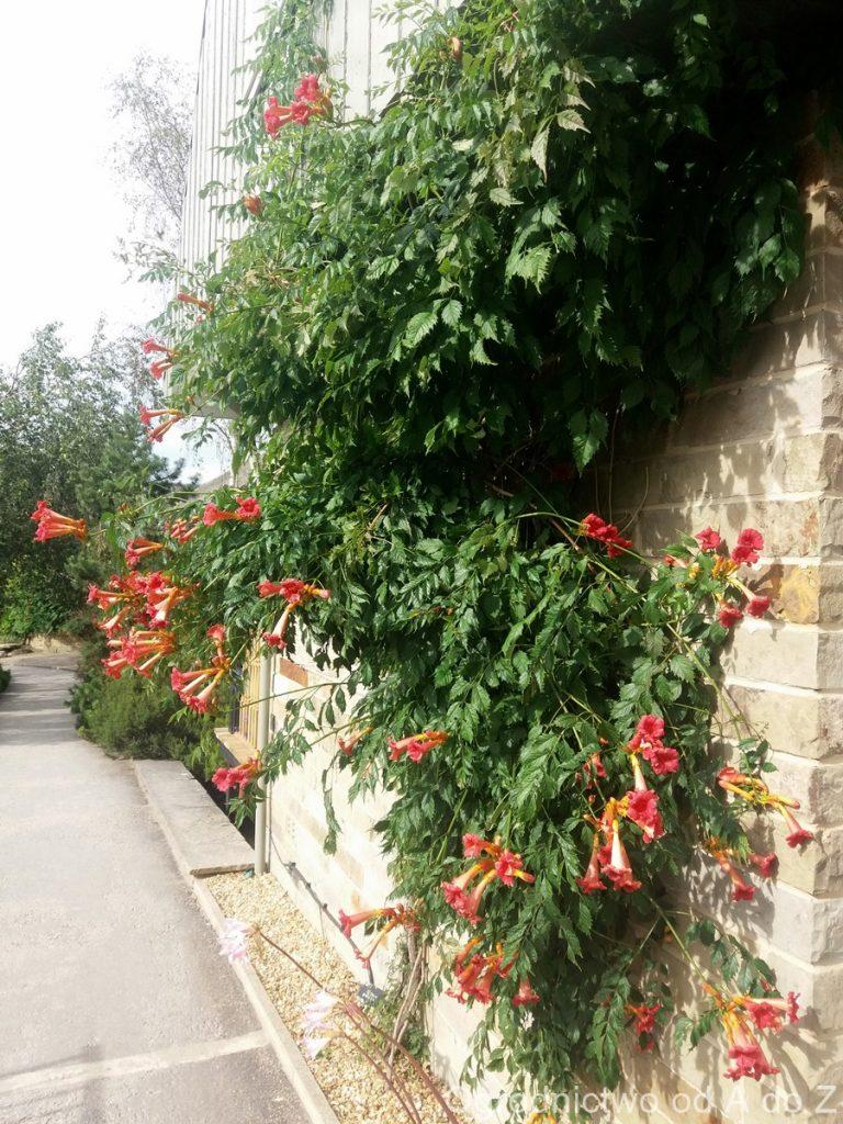 Milin wielkokwiatowy- widowiskowe pnącze