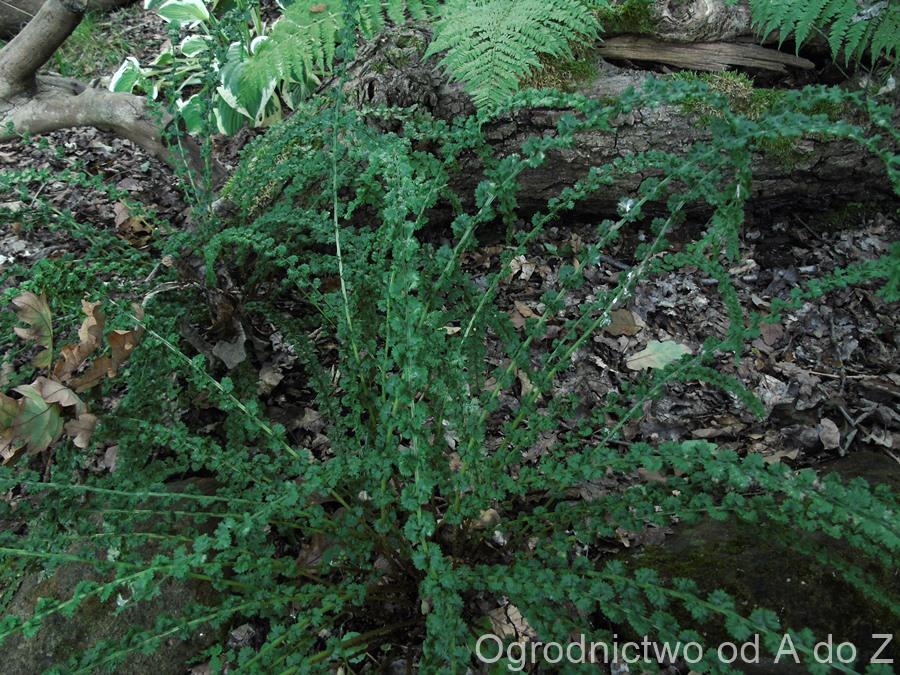 Athyrium filix- femina 'Frizelliae'