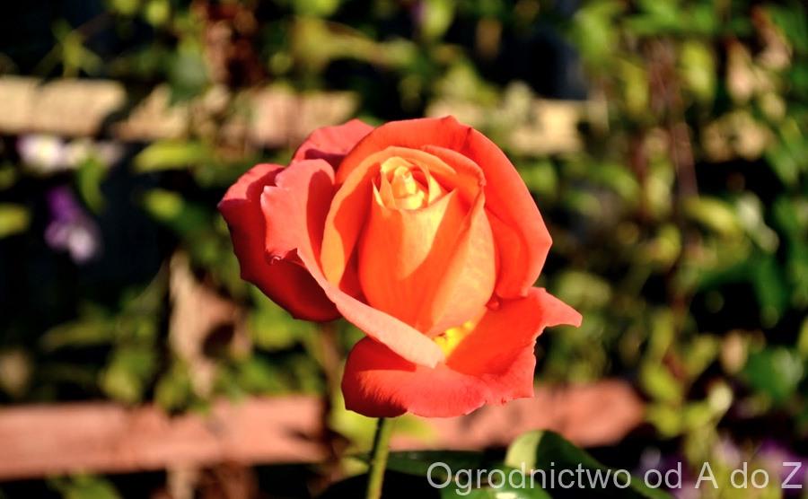 Jesień, Róża, Ogród