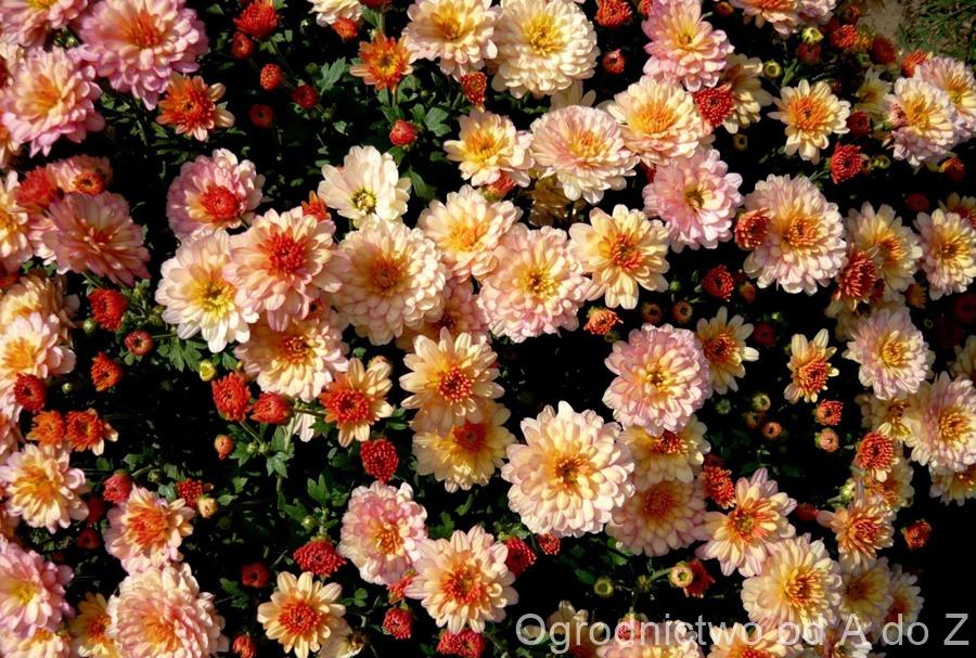 Chryzantema, Kwiaty, Jesień, Ogród