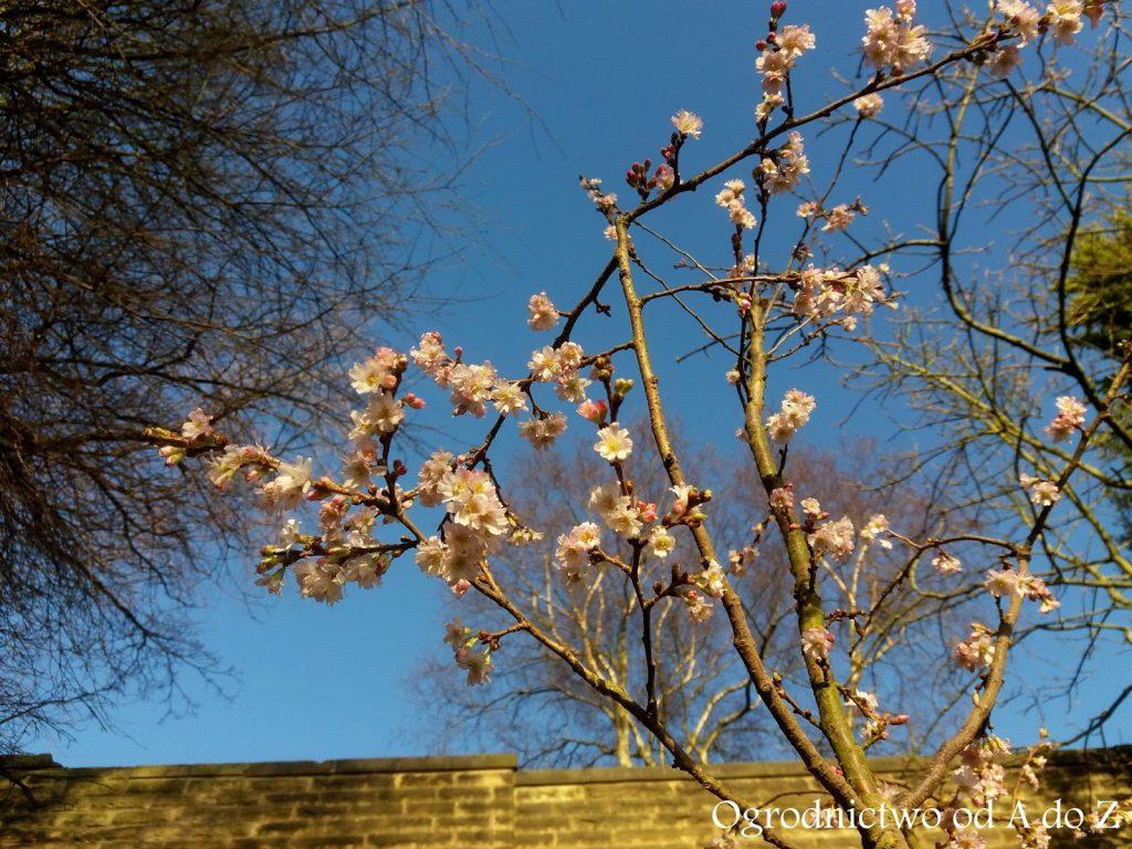 Prunus ×subhirtella