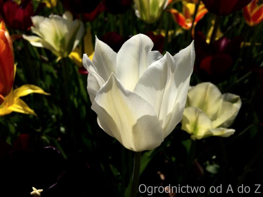 Tulipan liliokształtny 'White Triumphator'