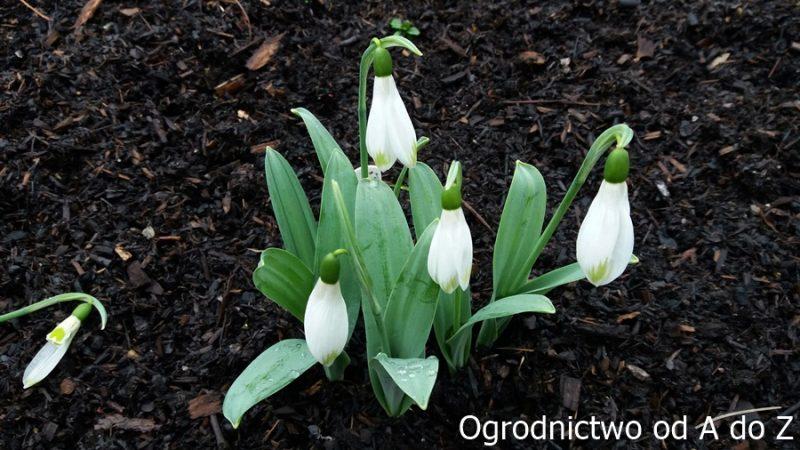 Galanthus elwesii 'John Tomlinson'