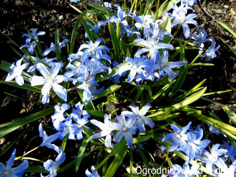 Śnieżnik lśniący- kwiaty