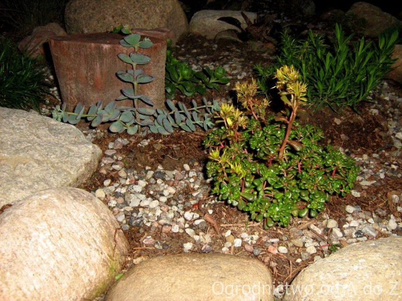 Rozchodnik oregoński na skalniaku