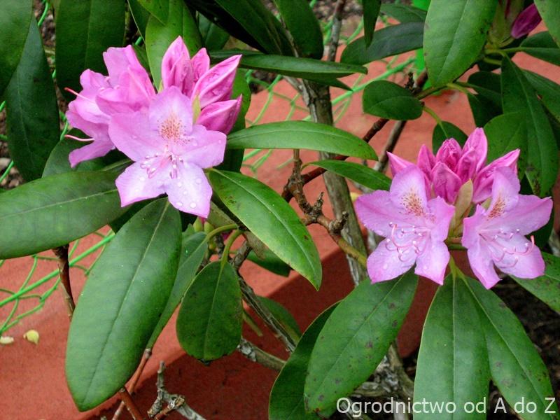 Różanecznik kwiaty