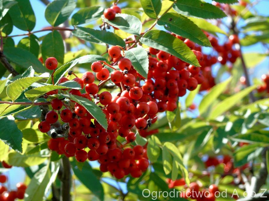 Owoce jarzębiny, a zdrowie