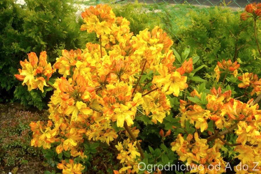 Azalia wielkokwiatowa 'Sunte Nectarine'