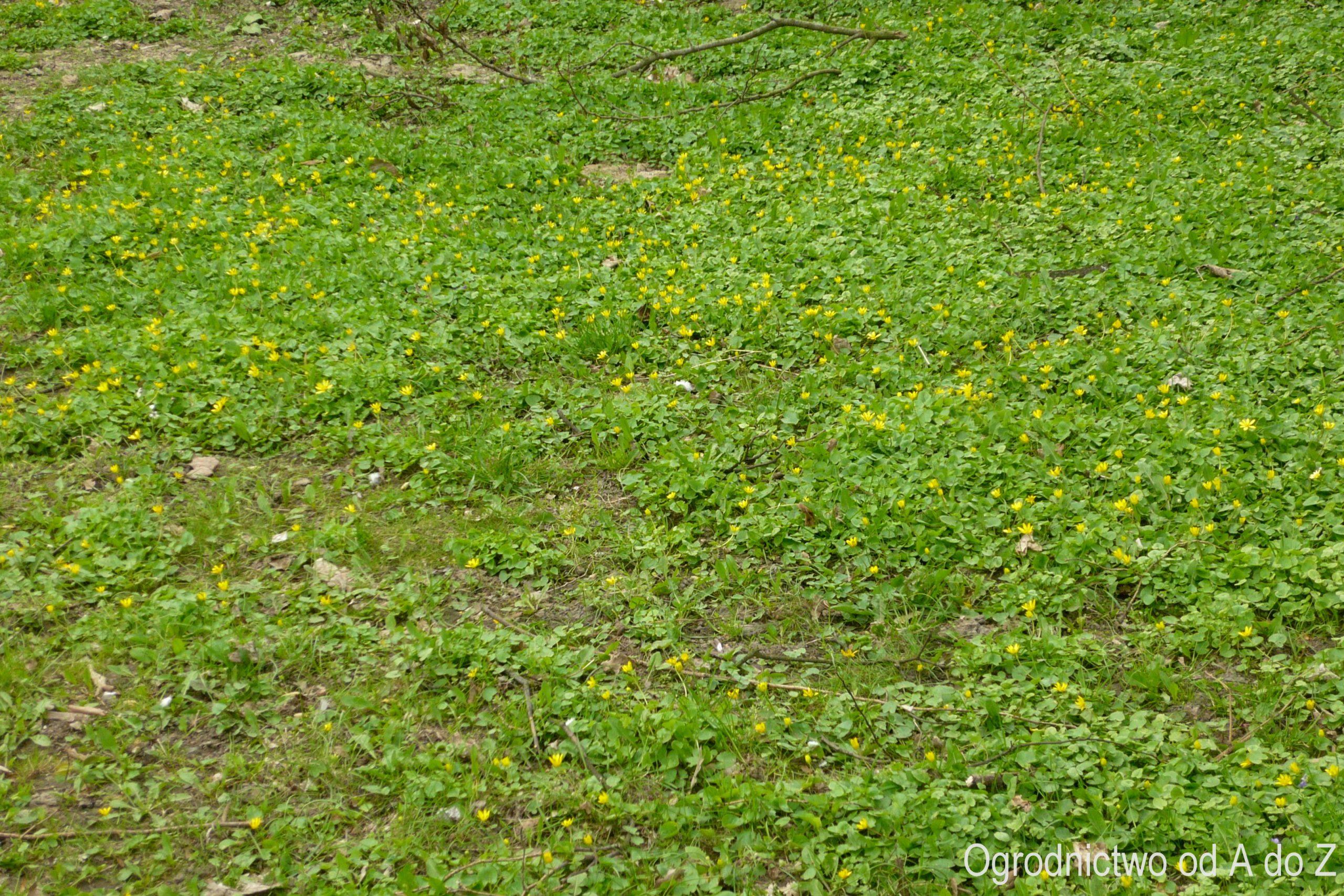 Ziarnopłon wiosenny