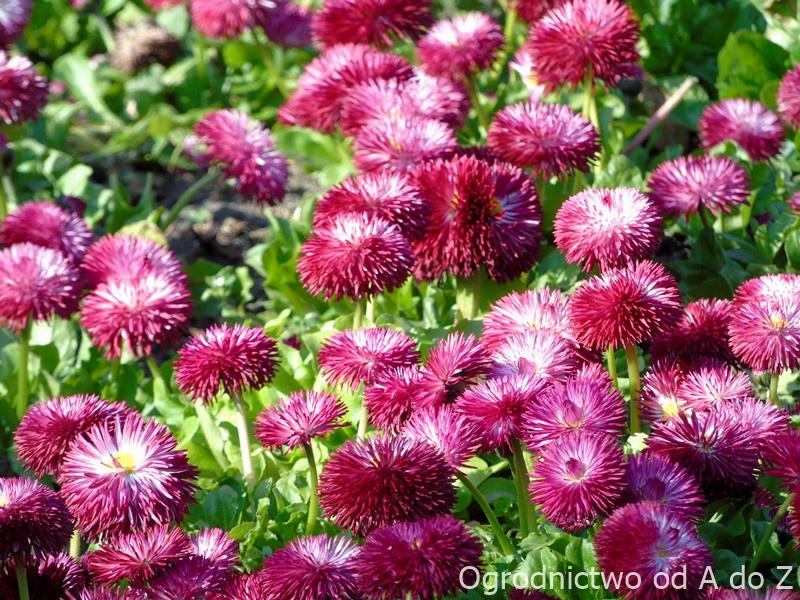 Stokrotki w pełni kwitnienia