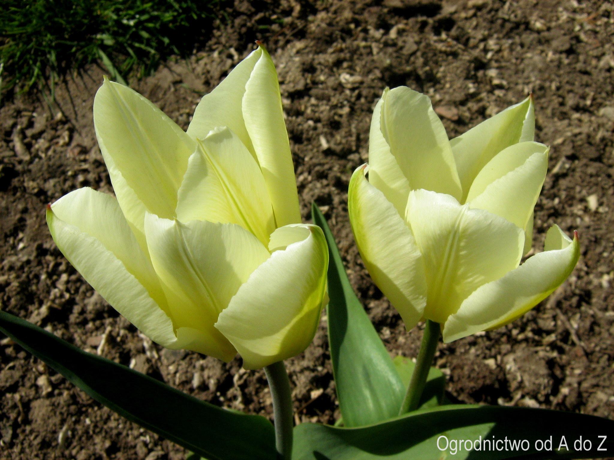 Kremowe tulipany