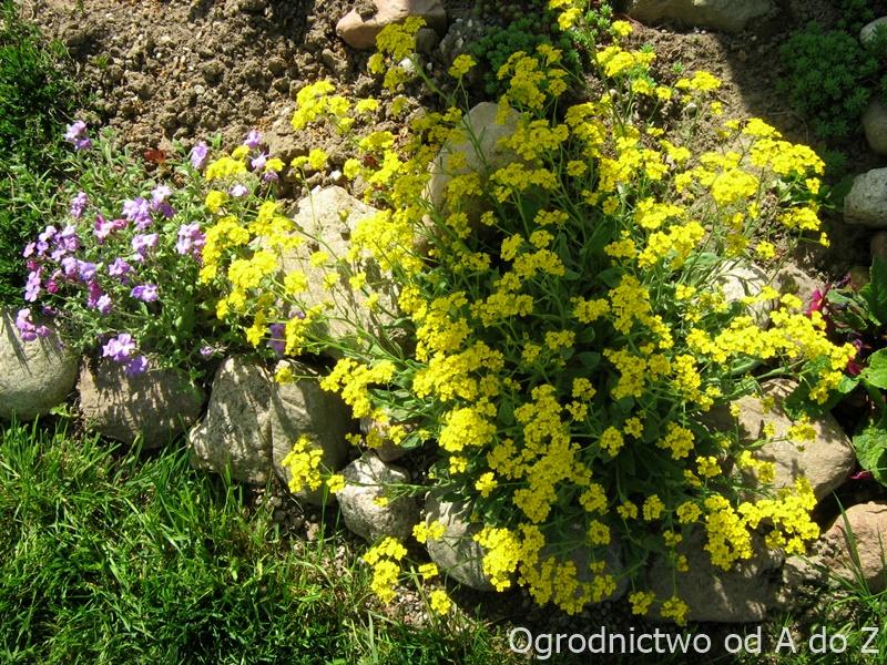 Smagliczka skalna kwiaty