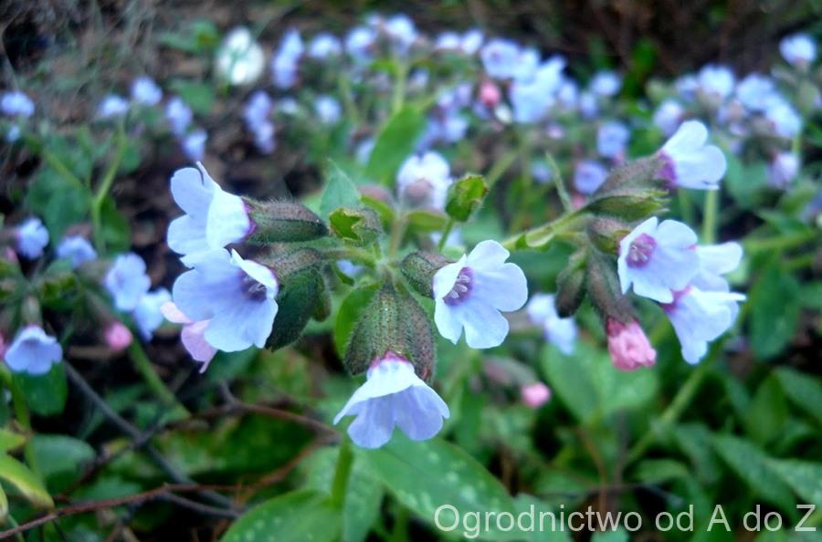 Miodunka kwiaty