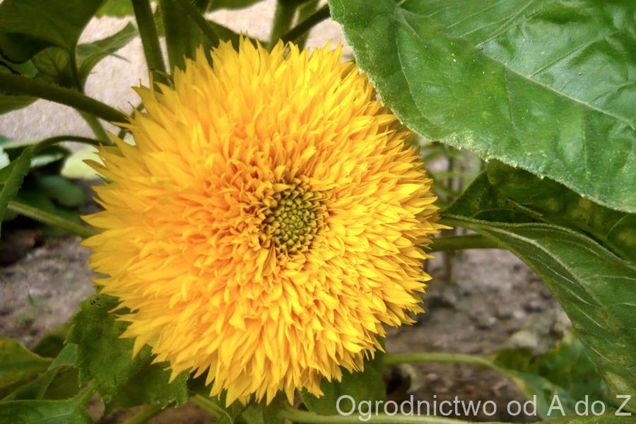 Słonecznik pełne kwiaty
