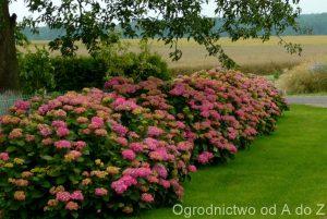 Hortensja-ogrodowa