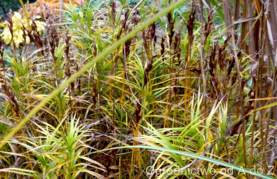 Trawa palmowa
