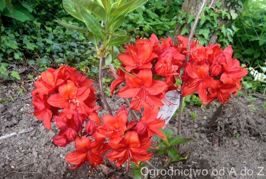 Rhododendron 'Nabucco'