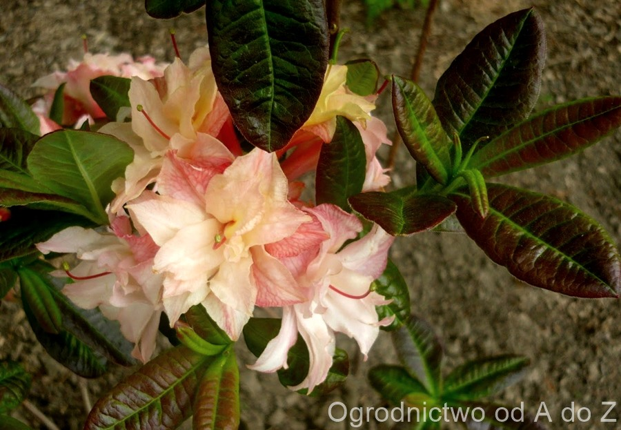 Rhododendron 'Cannon's Double'