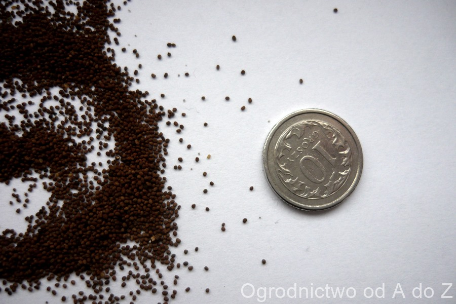 Tytoń oskrzydlony nasiona