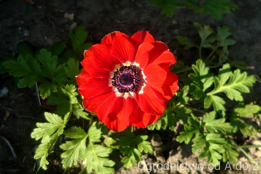 Anemone coronaria de Caen 'Hollandia'