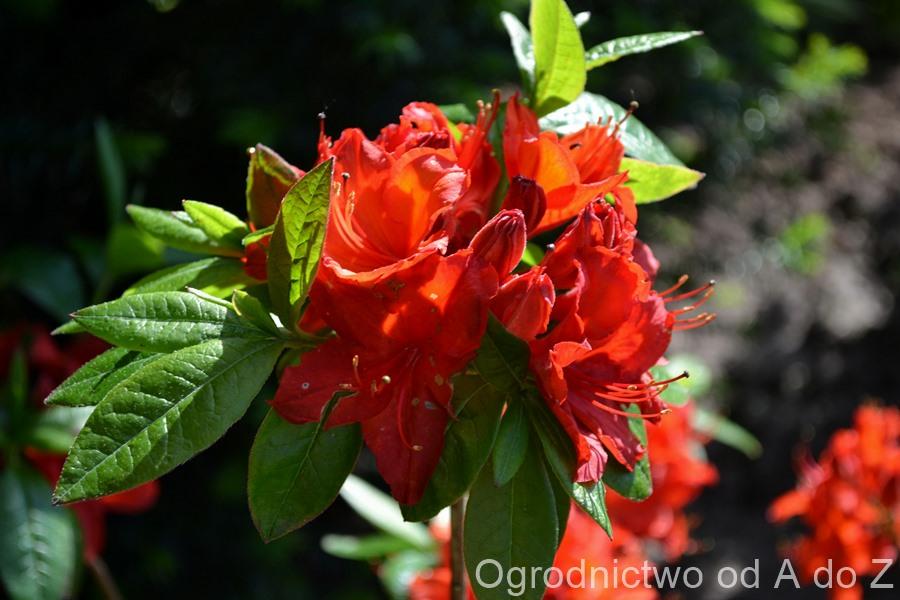 Azalia wielkokwiatowa 'Nabucco'