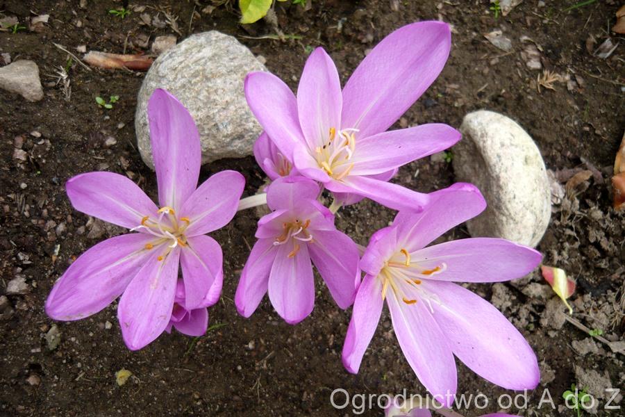 Zimowity kwiaty
