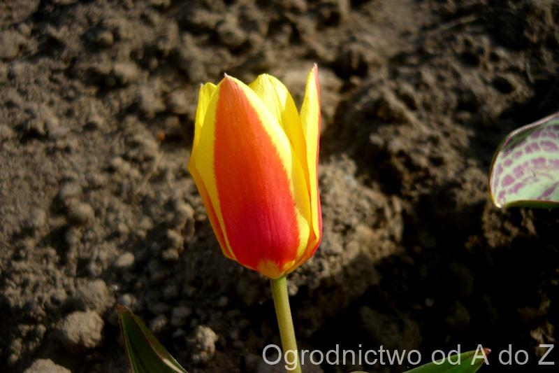 Tulipan 'Giuseppe Verdi'