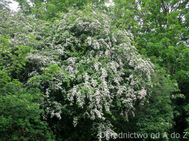Głóg- białe kwiaty