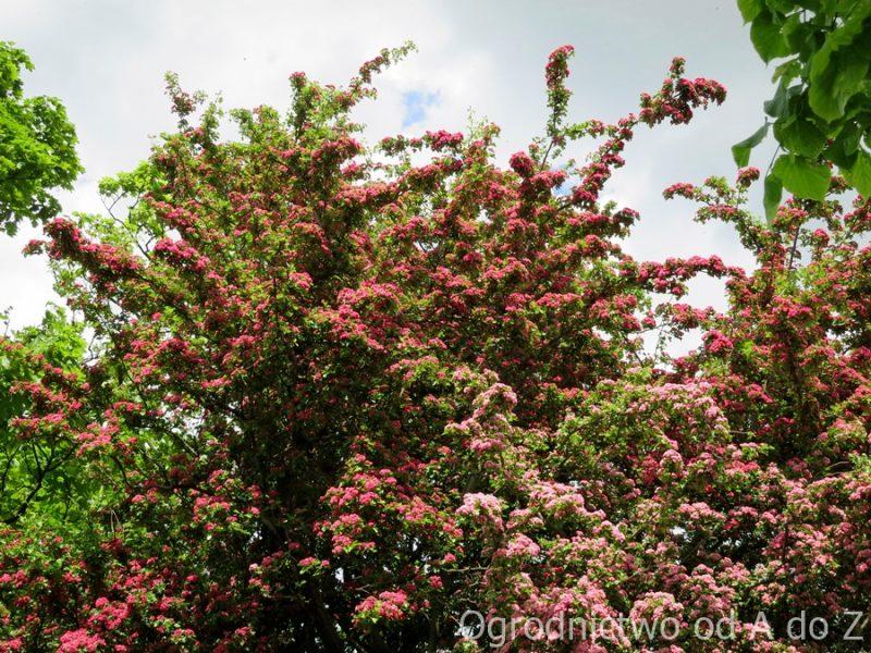 Głóg w okresie kwitnienia