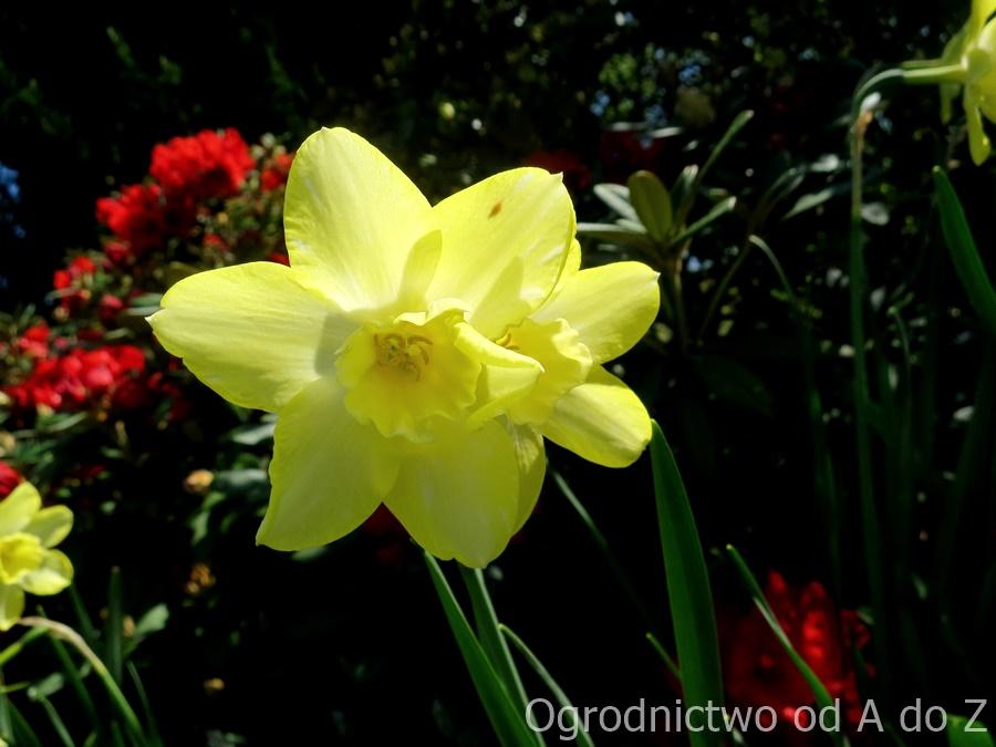 Narcyz kwiat