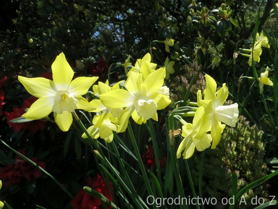 Narcyz- kwiaty