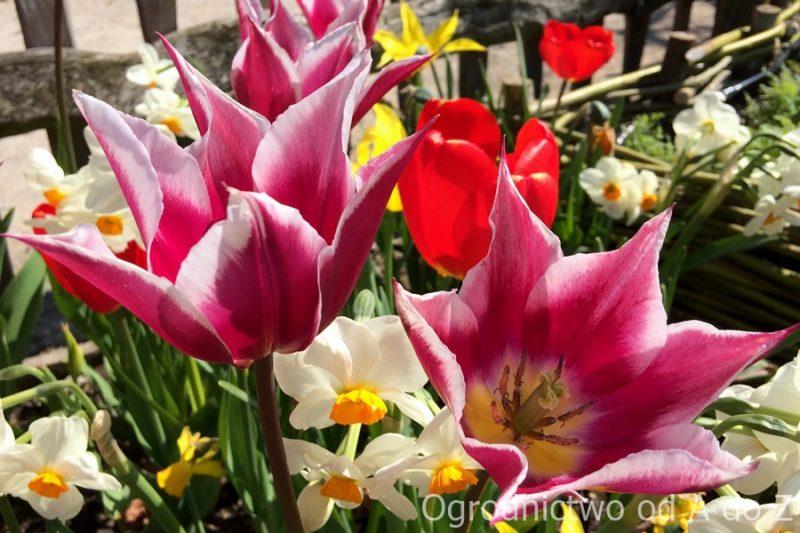 Tulipan liliokształtny 'Claudia'