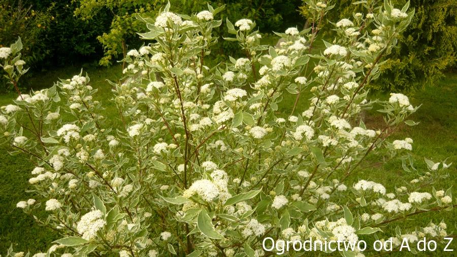Dereń biały kwiaty